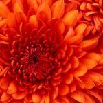 bella's flower
